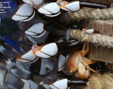 """Колонии мидий и крабов путешествуют на плотах """"Кон-Тики2"""""""